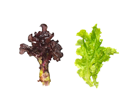 Green and red oak leaf salad leaves isolated on white background, top view. Fresh natural vegetables.