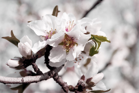 Almonds peach flowers blossom in trendy soft toning and style on blurred background. Spring tree with flowers and buds. Banque d'images