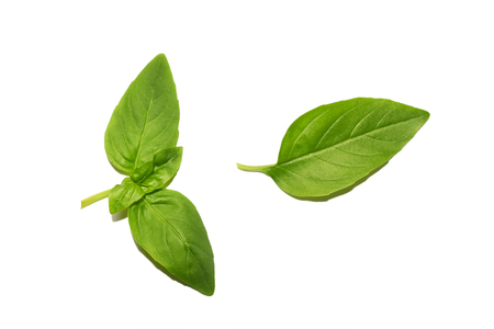Fresh organic basil leaves isolated on white background, top view. Spice green leaf basil close-up.