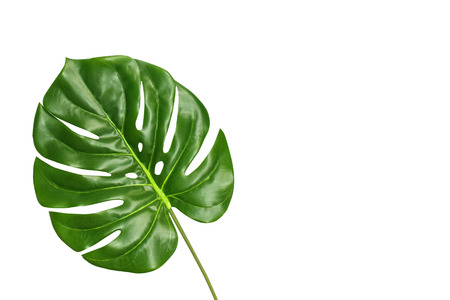 Tropical leaf monstera isolated on white background, top view. Summer palm fresh foliage concept with space for text. Monstera big green leaf. Banque d'images