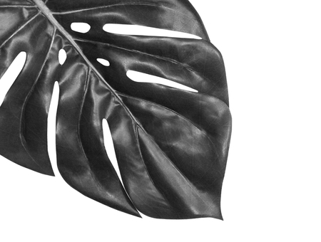 Tropical leaf monstera close-up isolated on white background, black and white image. Palm leaf front view. Banque d'images