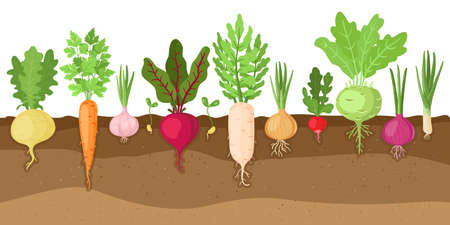 Planted vegetables. Cartoon root growing vegetables, veggies fibrous root system, soil vegetable root structure vector illustration set. Fresh organic healthy food growing, farming