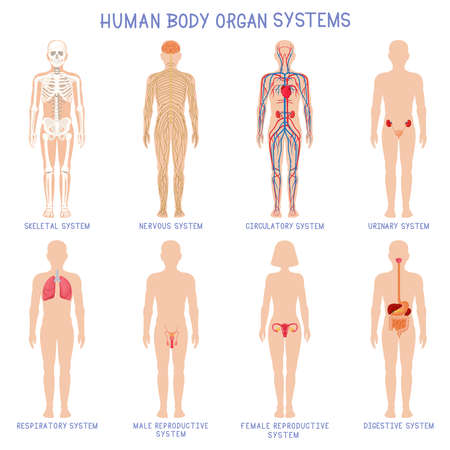 Cartoon human body organs systems. Anatomical biology systems, skeleton, nervous and reproductive system. Human biology organ scheme vector illustration set. Circulatory, respiratory anatomy