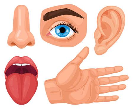 Cartoon human sensory organs. Anatomy human senses, skin touch, hearing, eyes vision, taste tongue and nose smell vector illustration set. Biology sensory organs