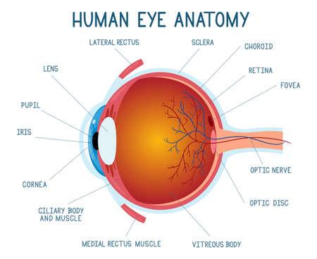 Cartoon eye anatomy scheme. Human eye ball infographic, eyeball inner structure vector illustration. Eye anatomy biology medicine poster