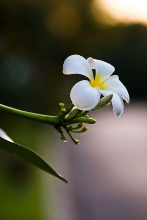 primavera: Flower