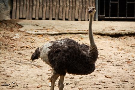 The ostrich in Thailand Stock Photo