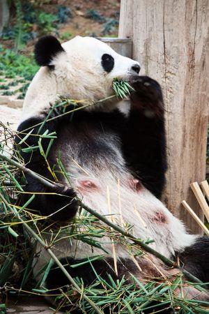 cute giant panda in chiangmai, Thailand