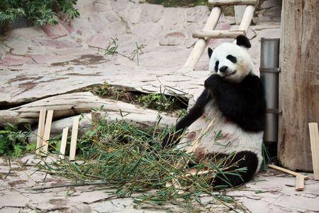 cute giant panda in the zoo of chiangmai, Thailand Stock Photo
