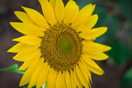 Close-up of beautiful sun flower against. Stock Photo