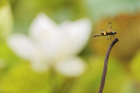 classifier: Dragonfly perched on a branch looking at the flowers gone. Stock Photo