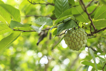 sweetsop: The raw sugar apple on the tree and the background is bokeh.