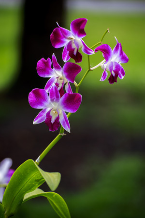 classifier: Orchid flowers are blooming in garden.