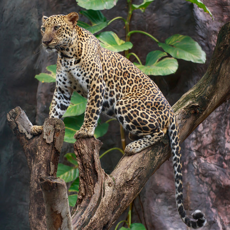 brute: Leopard on a branch and looking something.