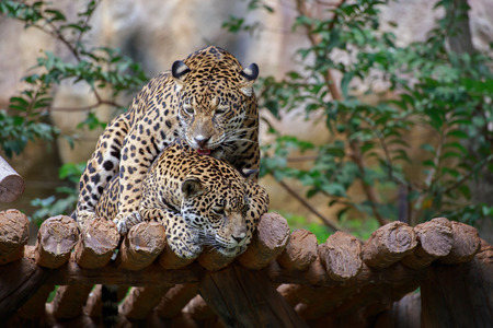 Jaguars are breeding on the timber. Stock Photo