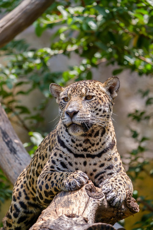 Jaguar on a branch and looking at something. Stock Photo
