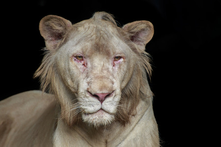 Head of white lion looking ahead on black background. Stock Photo
