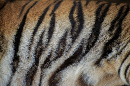 tiger skin: Stripes of the tiger skin.