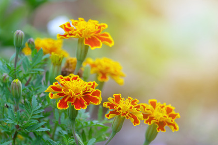 A blooming yellow flower glow in garden on soft and warm light background.
