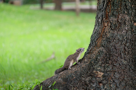 ardilla: Little squirrel perched at the base of the tree.