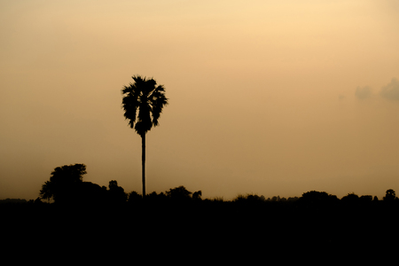 sugar palm: Shadow of sugar palm in evening light. The silhouette of the tree on cornfield. Stock Photo