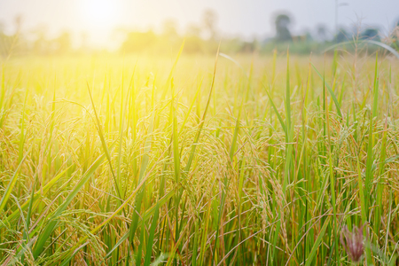 Golden cornfield have soft and warm light in the morning. Stock Photo