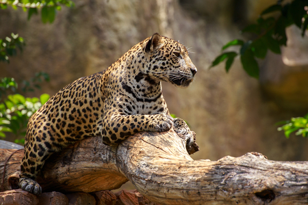 Leopard on a branch and looking at something.
