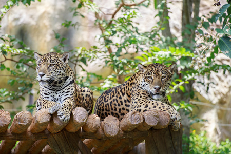 Two jaguars on the timber and looking at something.