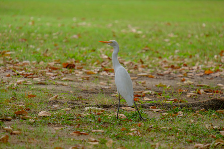 Egret foraging walk along the park. Stock Photo
