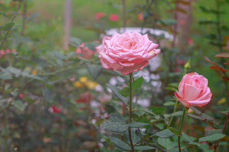 florescent light: Pink roses in garden in warm light pink.