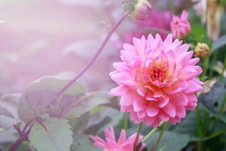 Pink flower in garden in soft light pink. Stock Photo