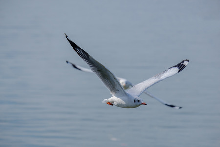 Seagull flying on the sea.