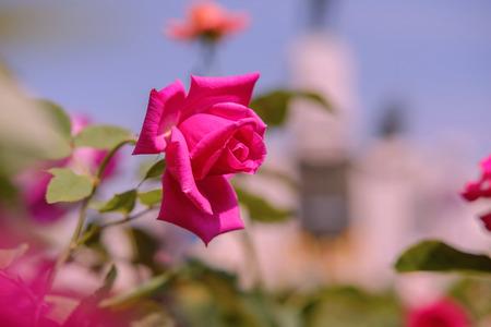 Pink roses in garden in warm light pink.