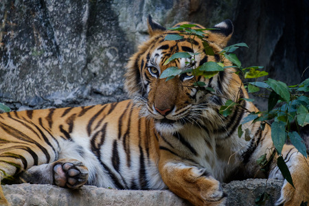 Tiger lying on the ground covered with small branches.