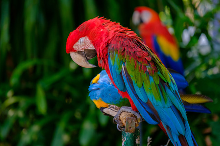 The colorful parrot sleeping on a wooden railing.