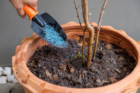 Chemical fertilizer in shovel for plant a tree in the pot. Stock Photo