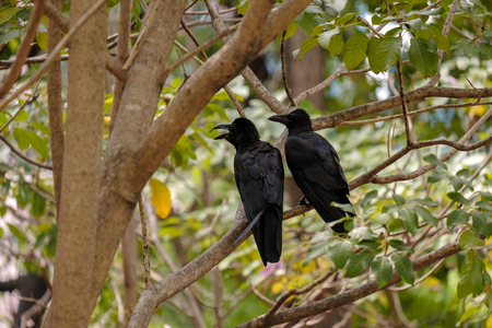 Twain black crows perched on a tree branch.