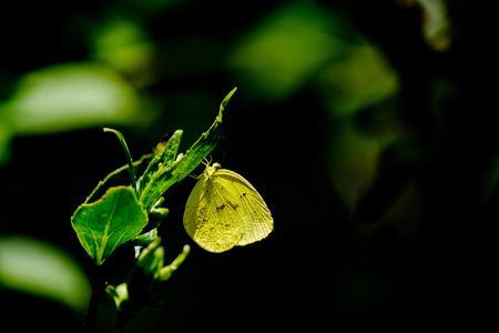 livelihood: The yellow butterfly perched on leaf on black background.
