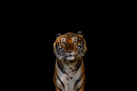 The tiger on black background.