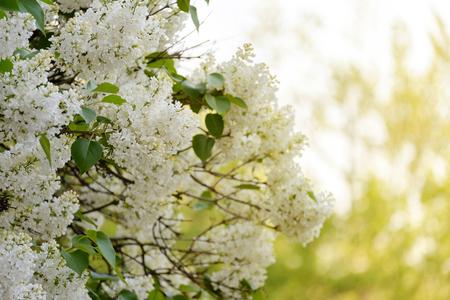 Closeup white flower on tree in warm light. Stock Photo