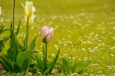 Tulips growing in field flower and meadow in warm light.