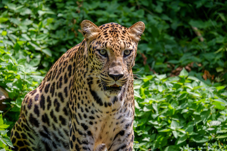 Leopard looking forward with fierce eyes.