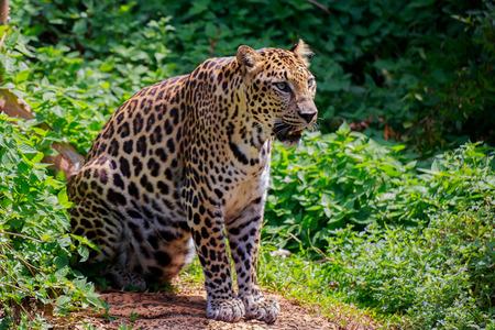 Jaguar looking forward with fierce eyes.
