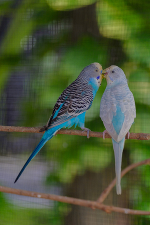 doublet: Two birds kissing on a branch. Stock Photo
