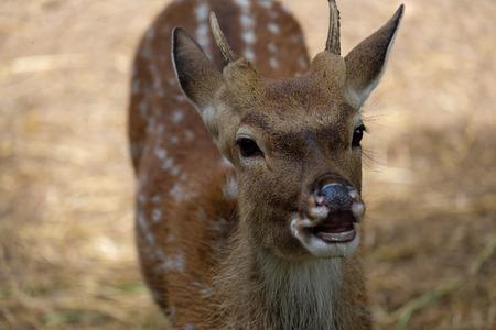 Closeup head of deer looking something.