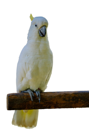 White pretty parrot perched on wooden rail on white background with clipping path. Stock Photo
