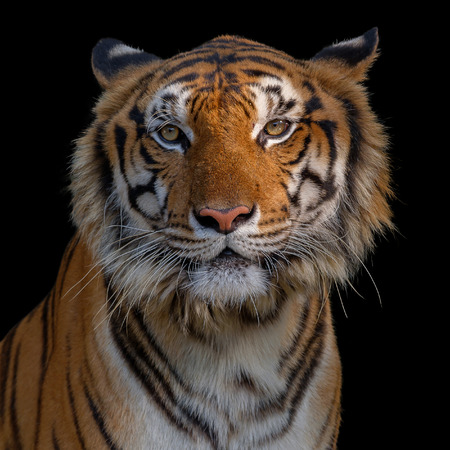 Closeup head of tiger on black background. The eyes of a tiger staring fiercely forward.