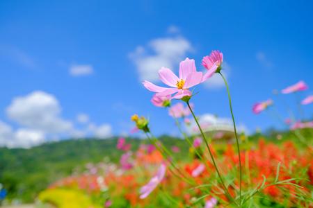 Pink flowers in bottom view in field on blue sky.