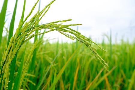 Closeup golden cornfield in field in the morning.