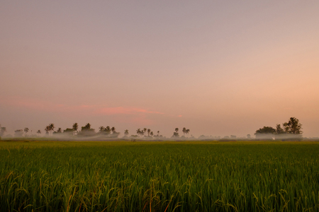 Rice field in evening light with little foggy.